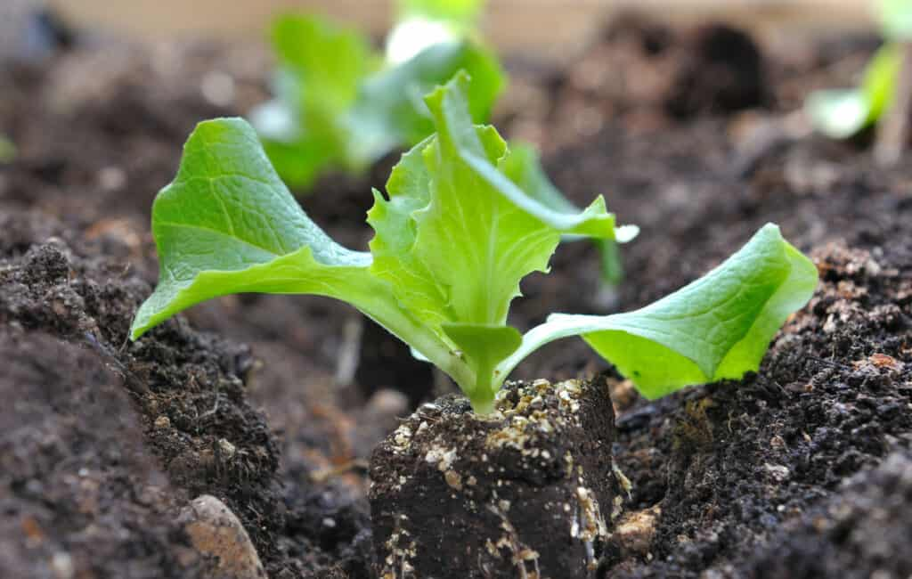 A lettuce seedling, freshly removed from its seedling tray.